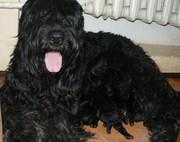Русский черный терьер,  щенок