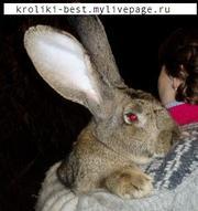 продам кроликов Фландр (гигантский кролик) и новозеландский , фр. баран
