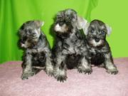 Профессиональный питомник Yves Nadiz предлагает высококлассных щенков