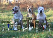 Выставочные щенки Американского Стаффордширского Терьера.