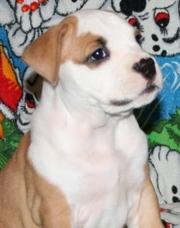 Выставочные щенки   девочка  Американского Стаффордширского Терьера.