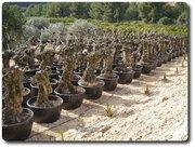 Бонсай,  пальмы,  цитрусовые,  оливковые деревья всех форм и размеров