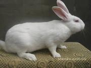 Продам кролей порода - Белый Паннон