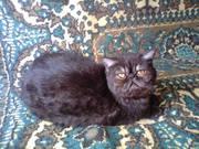 Продам кошку породы короткошерстный экзот
