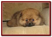Померанского миниатюрного шпица щенки из