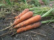 Продам морковь от 1 т.