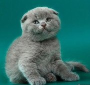 Предлагаю шотландских котят