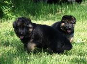 Очень красивые щенки немецкой овчарки