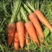Продам морковь большим оптом. Рассмотрим все предложения. Цена договор