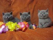 Продаются британские котята!