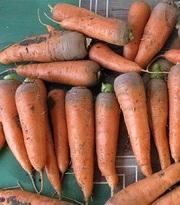 Морковь оптом (от 1 тонны)