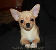 Продаются милые щенки чихуахуа