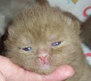 Британские котята Циннамон и Фавн