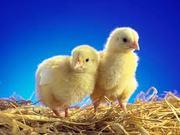 Цыплята бройлерные суточные цыплята