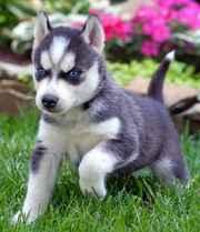 милых Сибирский хаски щенки для принятия.