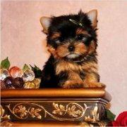 красивые щенки щенки для принятия.