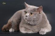 Шотландский прямоухий кот для вязок