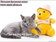 Британские голубые котята с доставкой из Москвы
