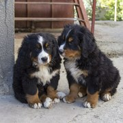 Продам два щенка породы бернский зенненхунд