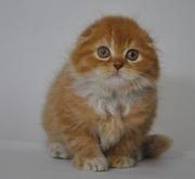 Котик,  хайленд-фолд из питомника