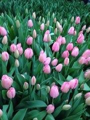 Голландские тюльпаны (Симферополь)