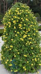 Цветы-растения: тунбергия,  армерия,  изолепис,  гацания,  бальзамин