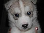 продаются щенки Хаски,  голубенькие глазки,  очень красивый окрас