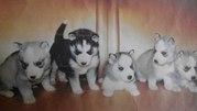 Продам щенков Лайки-Хаски