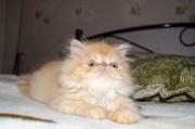 Экстремальные персидские котята,  ярких окрасов!