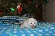 предлагаются к резервированию шикарные шотландские котята