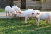 Продаются  поросята  и  молодые   поросные   свиноматки  Цена в рублях
