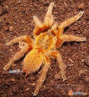 Pterinochilus murinus  RCF (рыжий!) L3-L4
