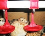 Перепела – инкубационные яйца.
